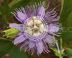 Purple Passion Flower up close