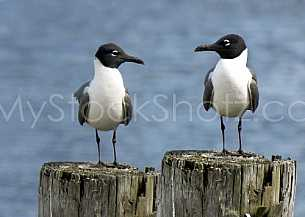 Gulls on a post