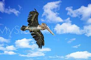 Brown Pelican in flight - gliding