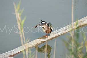 Duck Ballet or Yoga