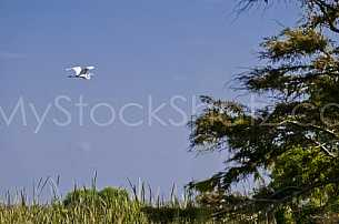 Egret in flight in the Mobile Delta