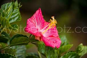 Beautiful morning Hibiscus
