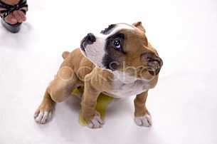Boxer Puppy in the studio