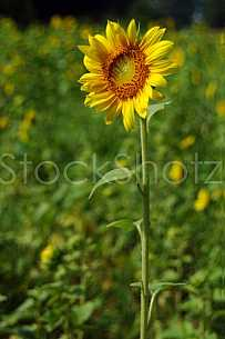 Sunflower standing tall