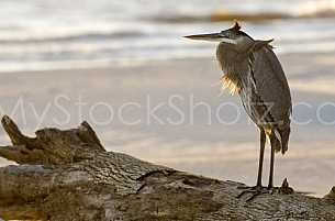 Heron on Dauphin Island