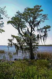 Tree on Mobile Bay