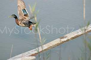 Duck just leaving log