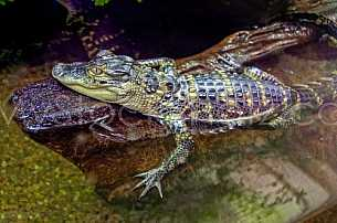 Gator at Dauphin Island