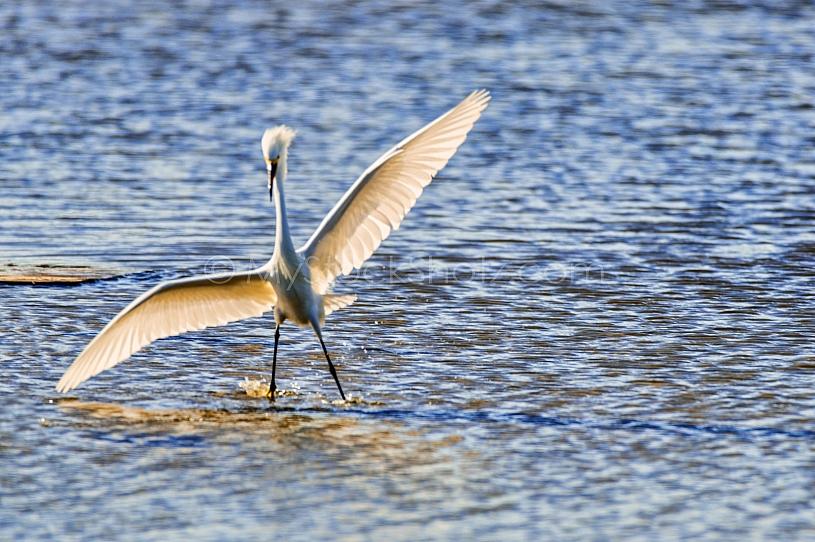 Egret on Dauphin Island