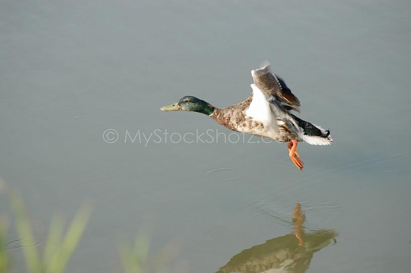 Duck in low flight