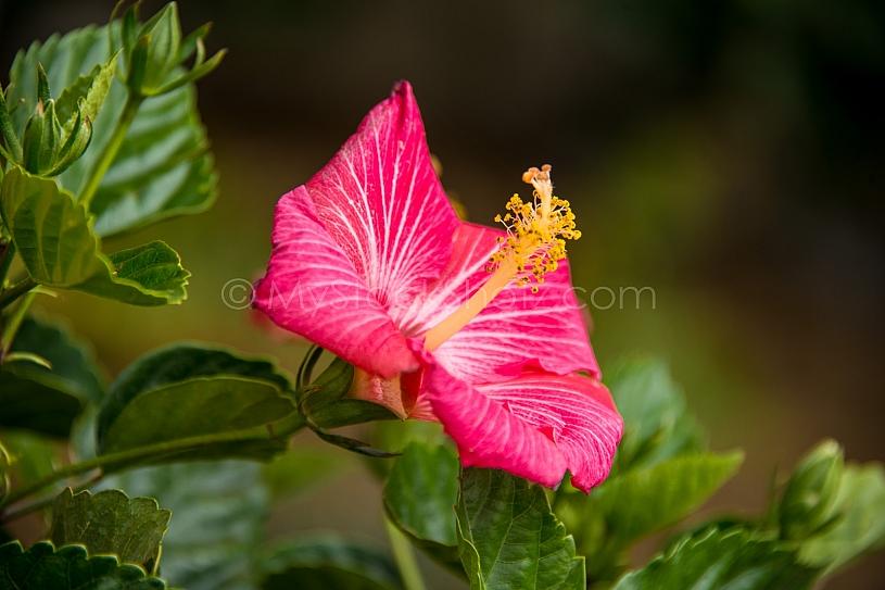 Beautiful morning Hibiscus