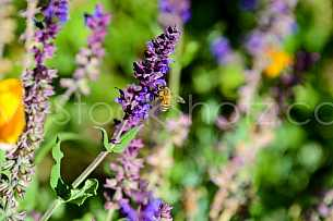 Honey Bee on flower 2