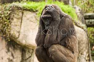 Gorilla Posing