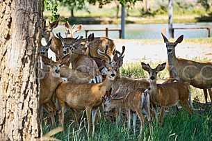 Herd of young deer