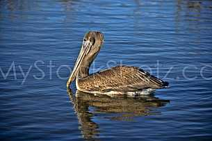 Pelican - Mobile Bay