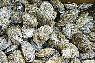Oysters harvested