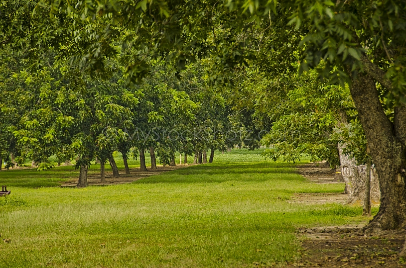 Pecans Orchard ready to pick