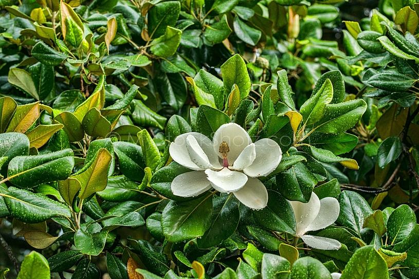 Magnolia after the rain